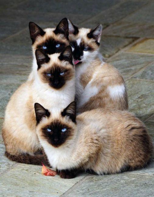 races des chats