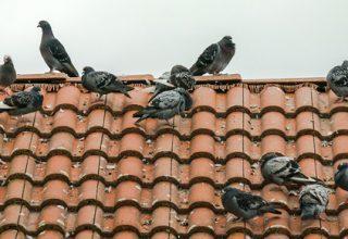 Comment faire fuir les pigeonsrapidement
