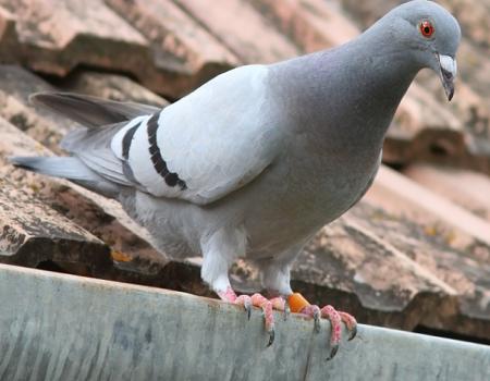Utiliser un faucon effaroucheur anti-pigeons pour faire fuir les pigeons rapidement