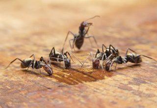 Qu'est-ce que mangent les fourmis