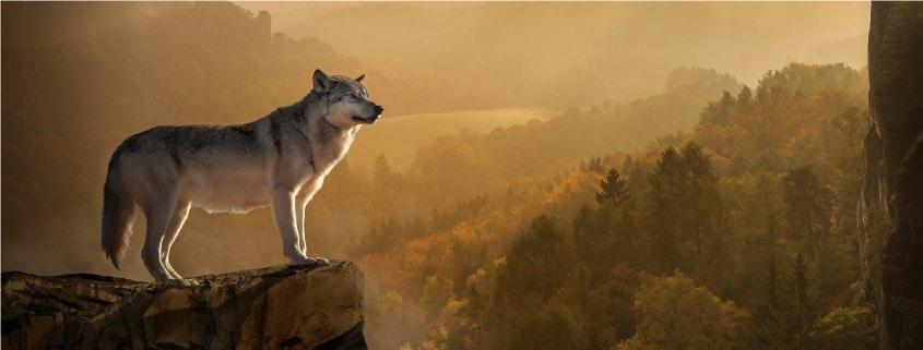 rêver de loup