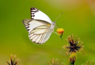 Papillon blanc - Signification et symbolisme