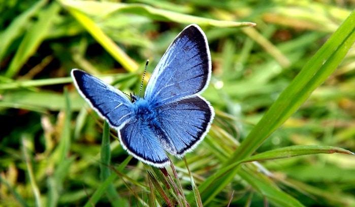 Papillon bleu - Signification et symbolisme