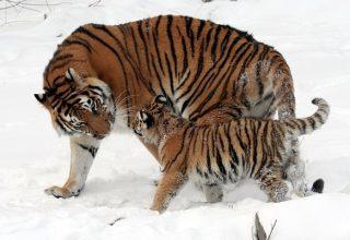 Rêves de tigres - Signification et interprétation
