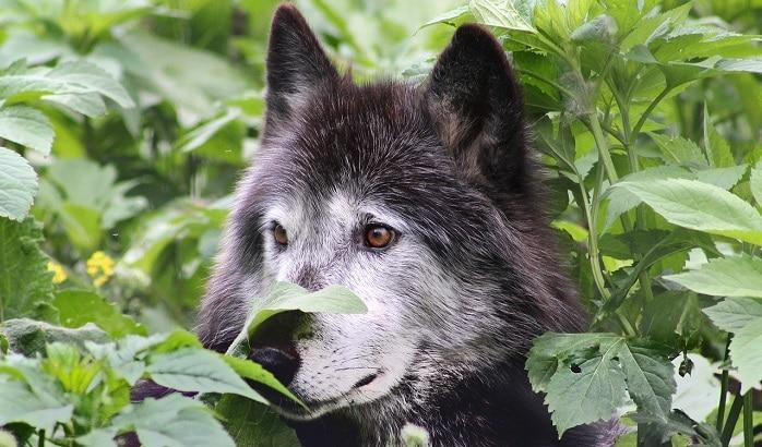 Rêves de loups - Signification et interprétation