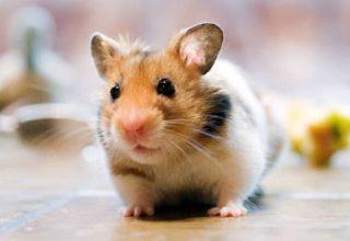un-hamster