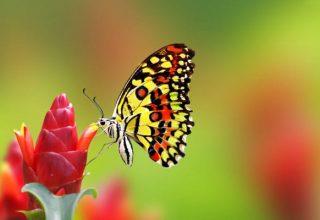 un-papillon