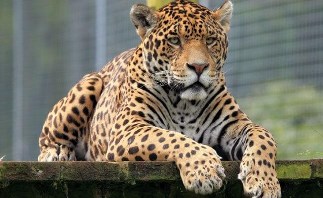 un-jaguar