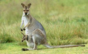 un-kangourou