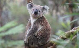 un-koala