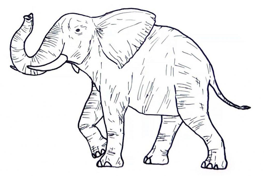 Coloriage animaux sauvages - éléphant