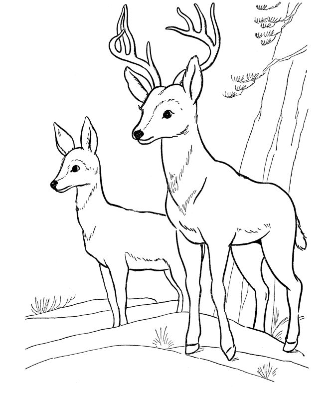 Coloriage animaux sauvages - cerf