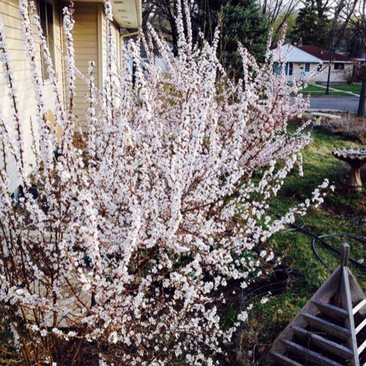 Cerisier de Nankin ou Ragouminier