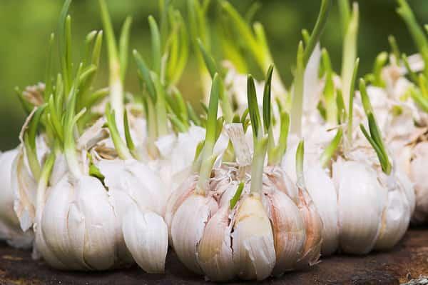 Résultat de faire pousser de l'ail dans votre jardin