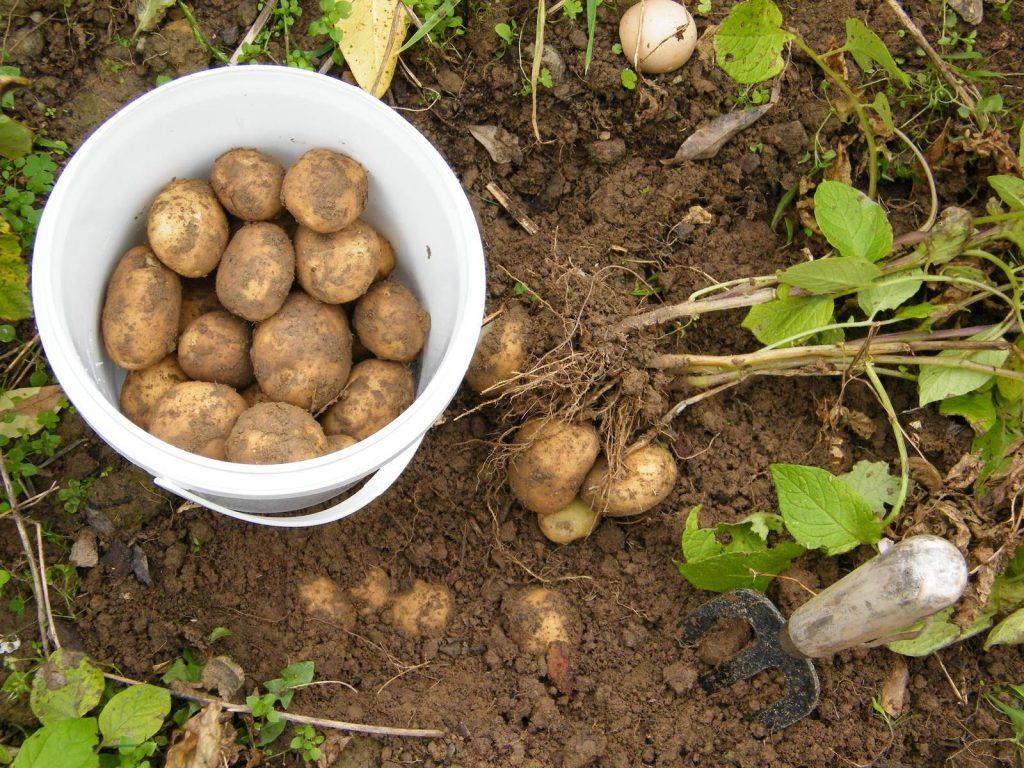 Comment conserver vos pommes de terre plus longtemps
