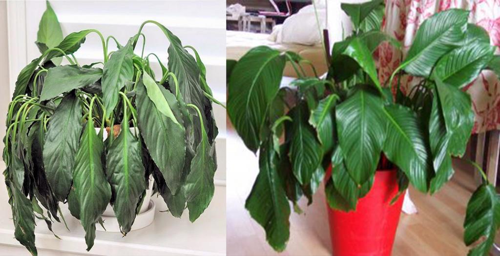 Comment redonner des forces à des plantes qui s'affaiblissent