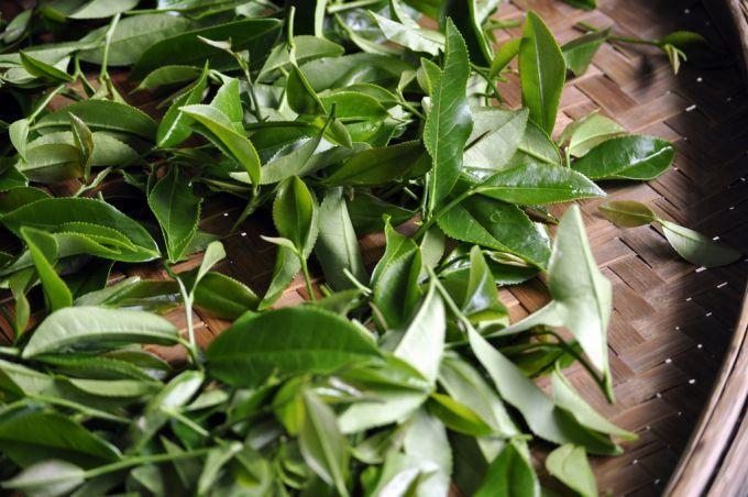Le thé, un engrais naturel et efficace